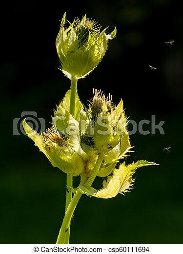 A closeup of the cabbage thistle Cirsium oleraceum - csp60111694