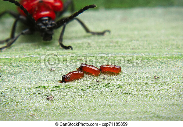 A closeup view of lily beetle eggs - csp71185859