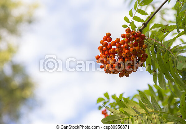 A cluster of ripe mountain ash - csp80356871