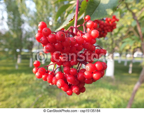 A cluster of rowan berries - csp15135184