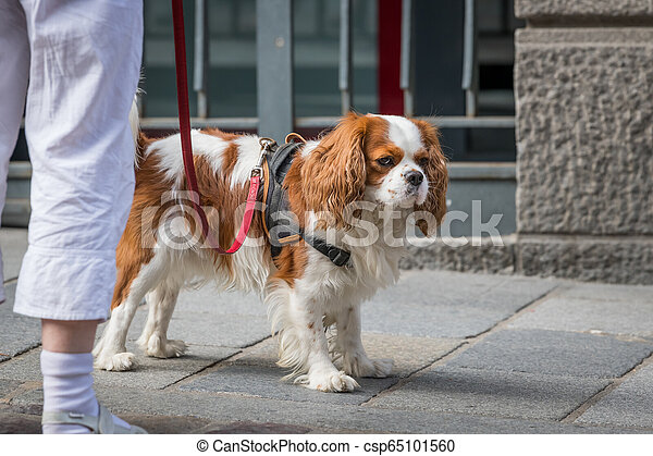 A cocker spaniel dog walking with owner on the street - csp65101560
