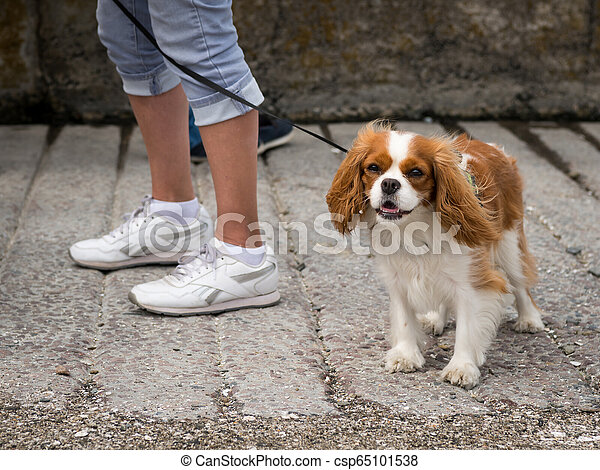 A cocker spaniel dog walking with owner on the street - csp65101538