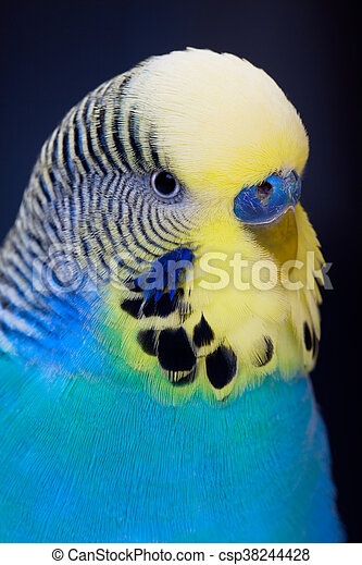 A colorful male budgie on dark background - csp38244428