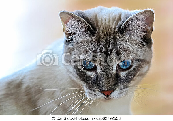 A common housecat with vibrant blue eyes with a peach background - csp62792558