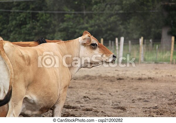 A cow looks right - csp21200282