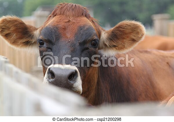 A cow peeks over the fence - csp21200298