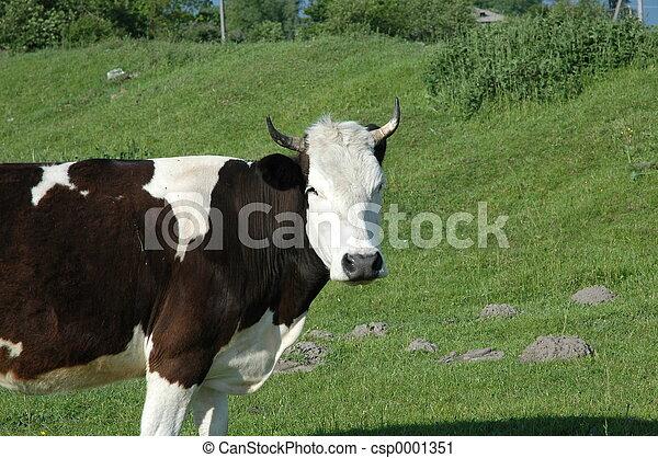 a cow - csp0001351