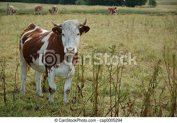 a cow - csp0005294