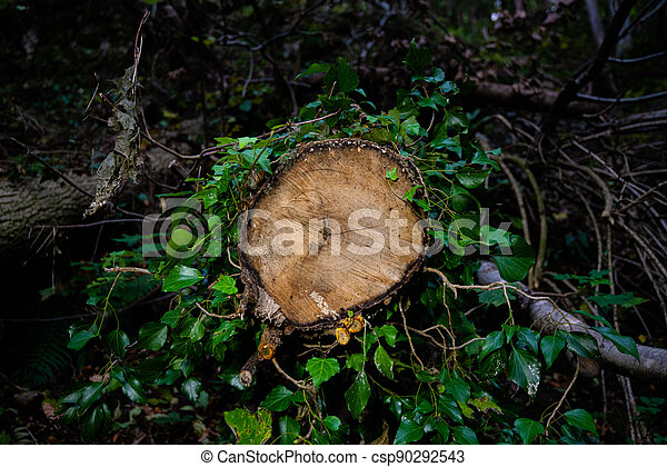 A cut tree trunk surrounded by ivy - nature takes back what human has taken from it - concept of deforestation, Lumberjack logger worker, nature and environmental protection - csp90292543