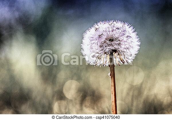 a dandelion - csp41075040