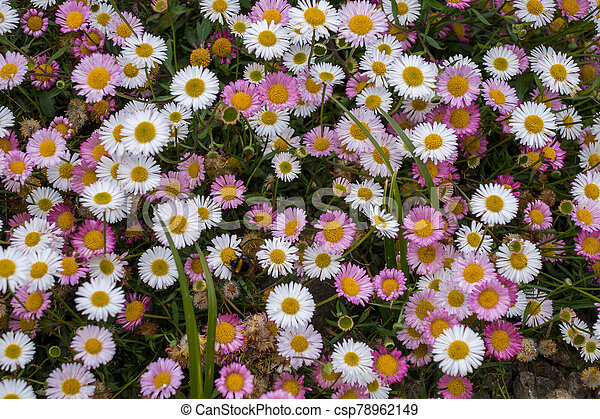 A dense mat of pink and white daisies - csp78962149
