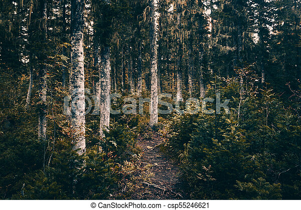 A dirt path in the coniferous forest. Hiking, traveling. - csp55246621