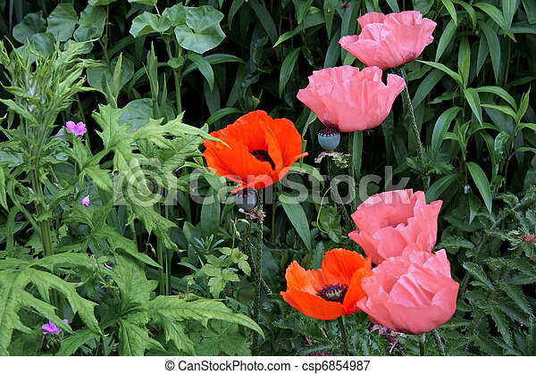 A display of Poppies (papaver) in an english country garden - csp6854987