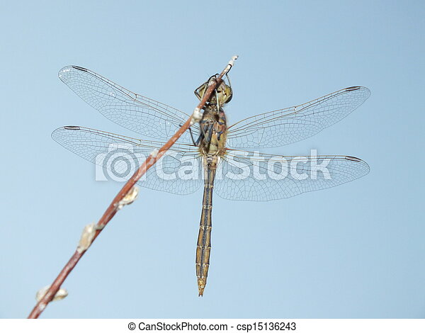 A dragonfly seen from below - csp15136243
