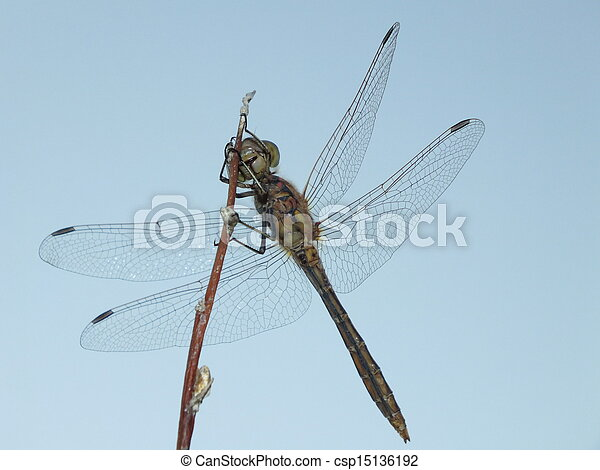 A dragonfly seen from below - csp15136192
