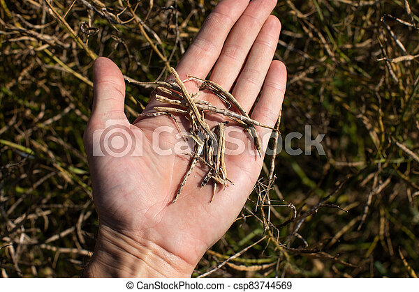 A farmer holds pods of dried ripe rape in his hand. Harvest concept - csp83744569