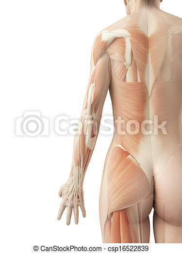 A female?s back muscles. 3d illustration of the female?s back muscles.