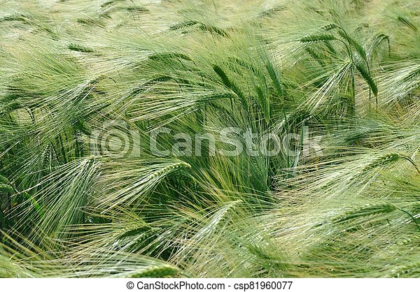 A field of  barley in Brittany - csp81960077