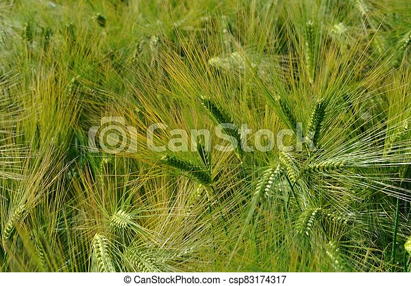 A field of  barley in Brittany - csp83174317