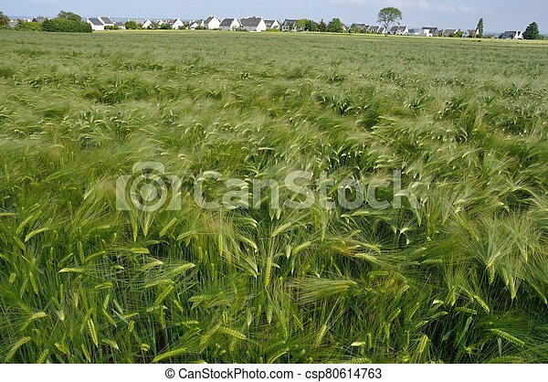 A field of barley in Brittany - csp80614763