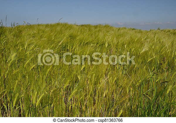 A field of  barley in Brittany - csp81363766
