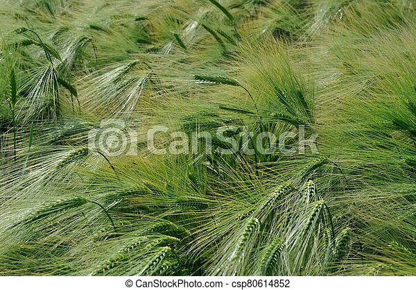 A field of barley in Brittany - csp80614852