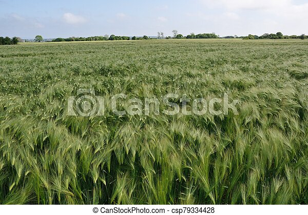 A field of barley in Brittany - csp79334428