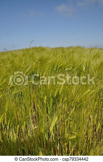 A field of barley in Brittany - csp79334442