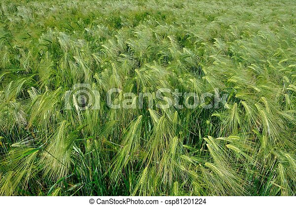 A field of  barley in Brittany - csp81201224
