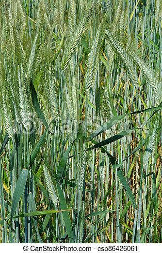 A field of  barley. - csp86426061