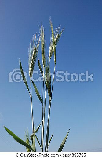 A field of barley. - csp4835735