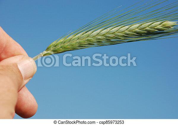 A field of  barley. - csp85973253