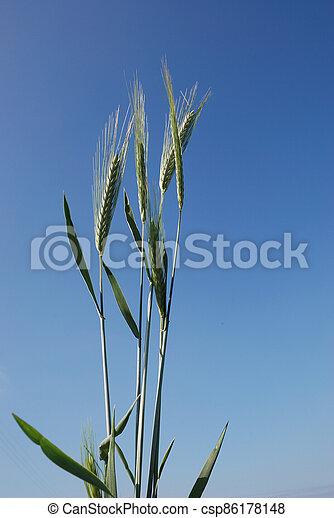 A field of  barley. - csp86178148