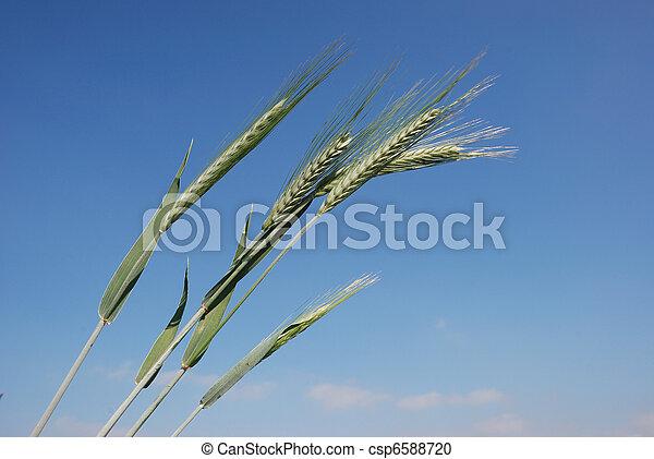 A field of barley. - csp6588720