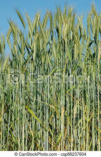 A field of  barley. - csp86237604