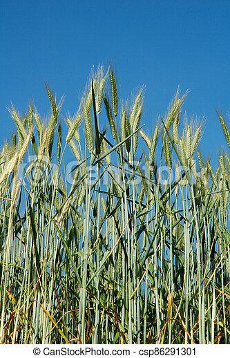 A field of  barley - csp86291301