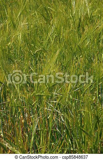 A field of  barley. - csp85848637