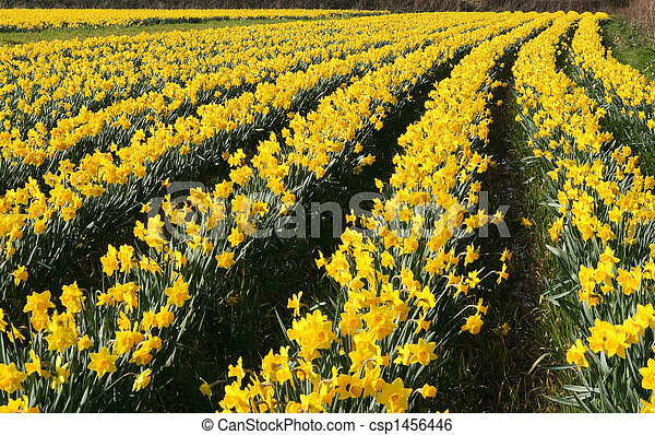 A field of daffodils in bloom, Cornwall, UK. - csp1456446