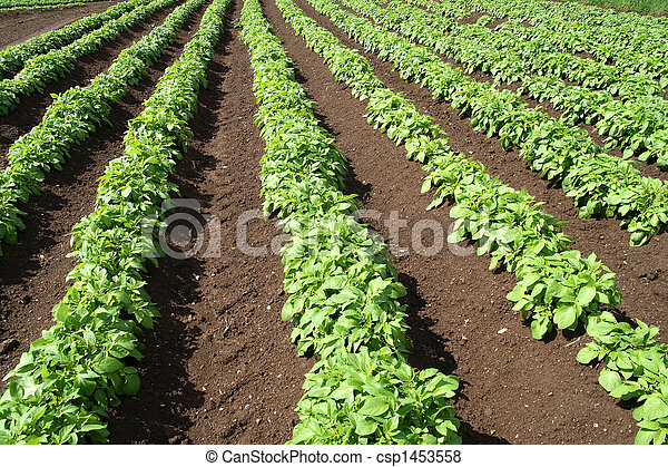 A field of green vegetable crops. - csp1453558