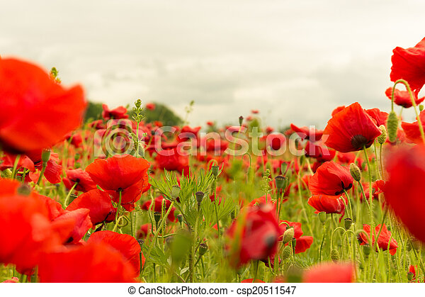 A field of red poppies on cloudy day landscape - csp20511547