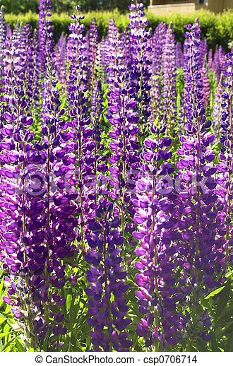 A Fieldful of Lupins - csp0706714