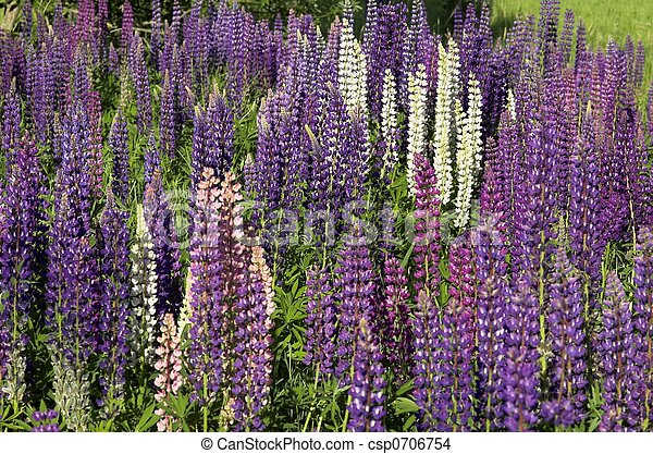 A Fieldful of Lupins - csp0706754