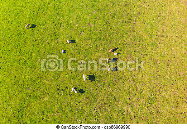 a flock of cows on a meadow from above - csp86969990