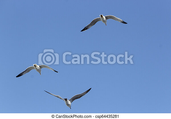 A flock of seagulls flying over the sea, Portugal - csp64435281