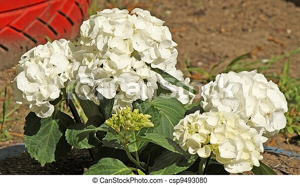 A flower bed of spring white flowers - csp9493080