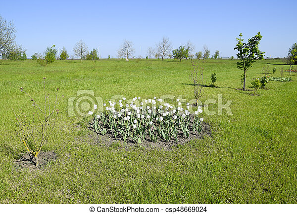A flower bed with white tulips white tulips bulbous plants white a flower bed with white tulips white tulips bulbous plants white flowers mightylinksfo