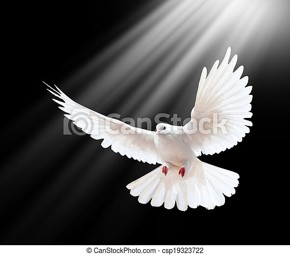 A free flying white dove isolated on a black  - csp19323722