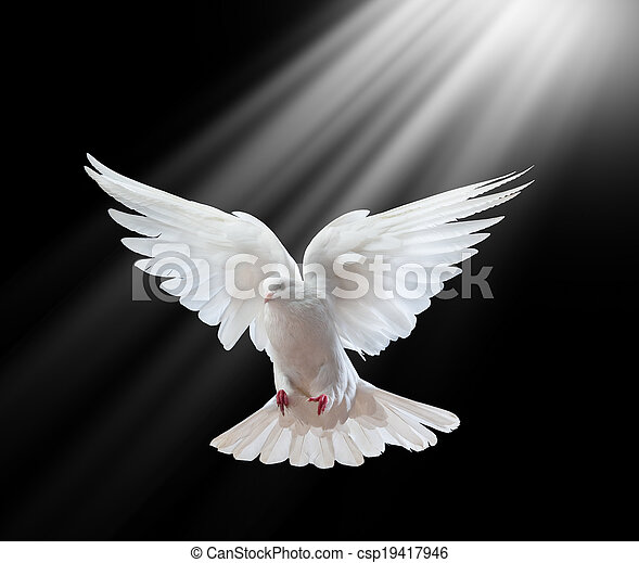 A free flying white dove isolated on a black  - csp19417946