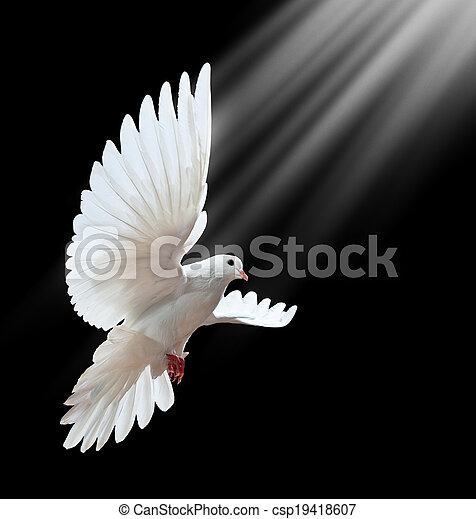 A free flying white dove isolated on a black  - csp19418607