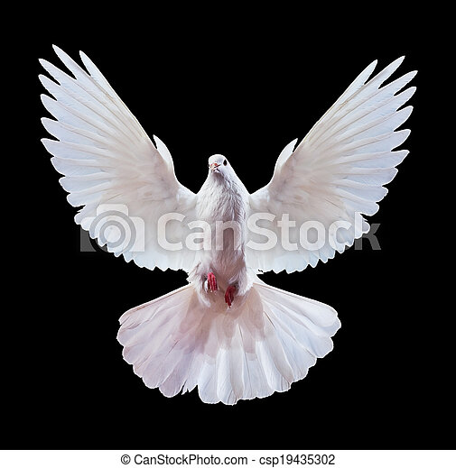 A free flying white dove isolated on a black - csp19435302